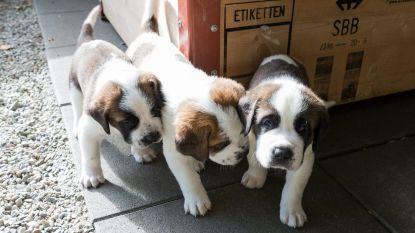 """""""Knuffelen met puppy's tegen examenstress is slecht plan"""""""