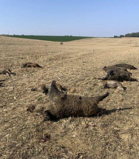 Ophef in Vogezen: everzwijnen achtervolgd en bewust verpletterd door landbouwvoertuigen