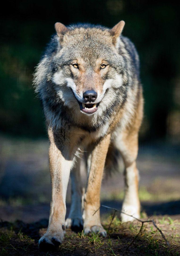 Als de wolf zich weer in Nederland vestigt, krijgt hij wettelijke bescherming. Eventuele schade die de wolf aanricht door bijvoorbeeld vee van een boer te verorberen, kan daardoor worden vergoed via het Faunafonds. Wolven komen steeds dichter in de buurt van de Nederlandse grens. In de zomer van 2012 werd in Duitsland, op 200 kilometer van de Nederlandse grens, een nest met jonge wolven gezien. Deskundigen wijzen er al langer op dat de wolf zal terugkeren in Nederland, maar kunnen niet aangeven wanneer. De wolf werd in 1897 voor het laatst waargenomen in Nederland. Beeld Anp
