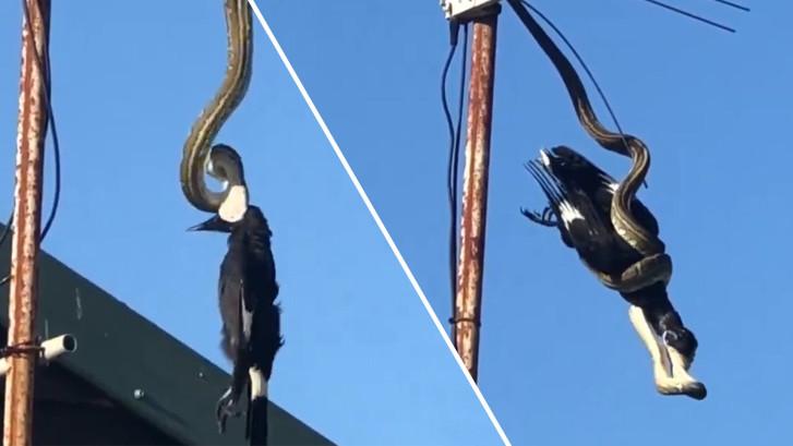 Python valt vogel aan midden in woonwijk Australië