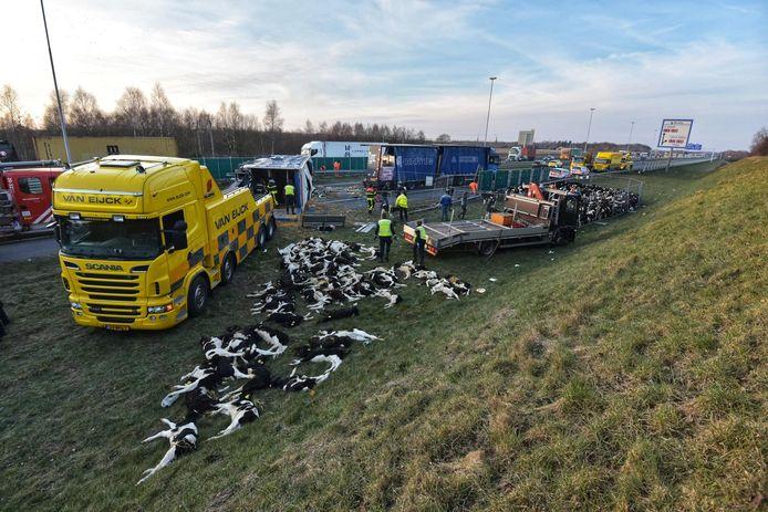 Tientallen kalveren hebben het ongeluk niet overleefd.