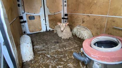 Tien schapen illegaal geslacht in garage, schaap 'Darling' kan net op tijd gered worden