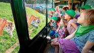Bellewaerde moet afscheid nemen van tijgers Kiara en Mira