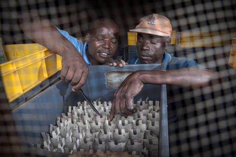 Een specialist inspecteer de 'oogst' van een boer. Beeld Sven Torfinn/de Volkskrant