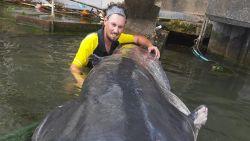 Visser haalt monsterlijke meerval van 2,40 meter boven uit Seine in Parijs
