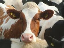 Groen licht voor nieuwe veestal Valkenswaard