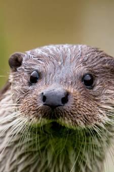 Boswachter Biesbosch: Dromen van de eerste Biesbosch-otters