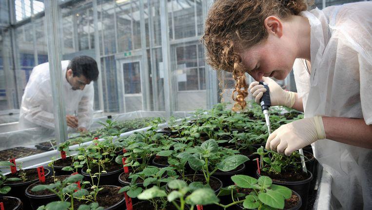 Onderzoekers aan het werk bij cisgene aardappelplanten in de kassen van Wageningen UR. Beeld Marcel van den Bergh