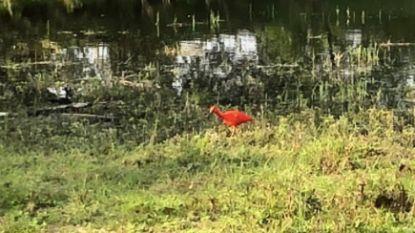 Rode ibis in Gentbrugse Meersen is vermoedelijk ontsnapt uit Planckendael