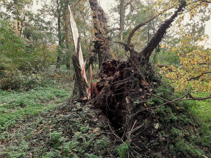 Ongeveer 70 jaar oude iep omgevallen in Park Merwestein in Dordrecht.
