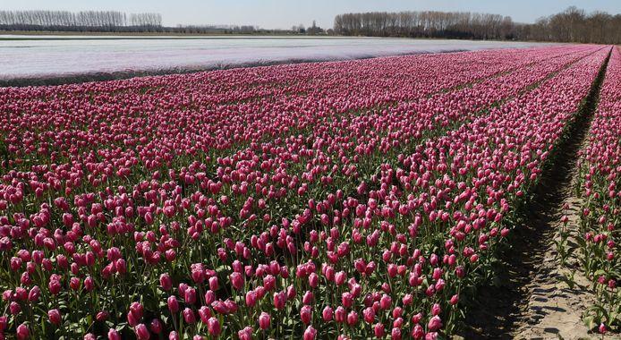 Tulpen van kweker Philippe de Winter aan de Kloosterweg bij Koewacht.