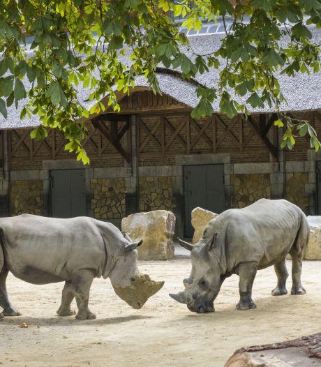 ZOO Antwerpen verwelkomt twee witte neushoorns