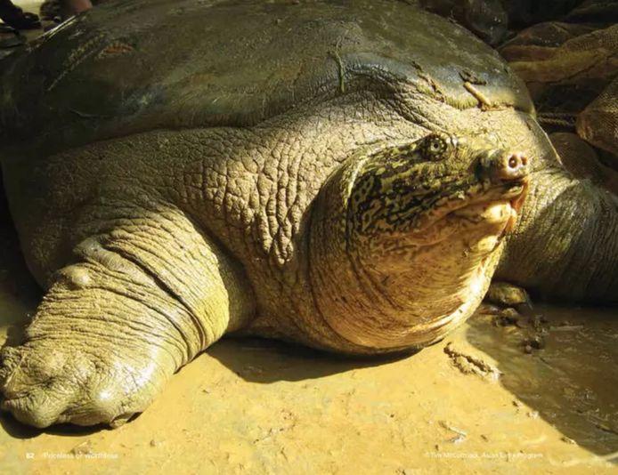 Jusqu'à présent, les scientifiques pensaient qu'il ne restait plus qu'une tortue de Swinhoe sur la planète.