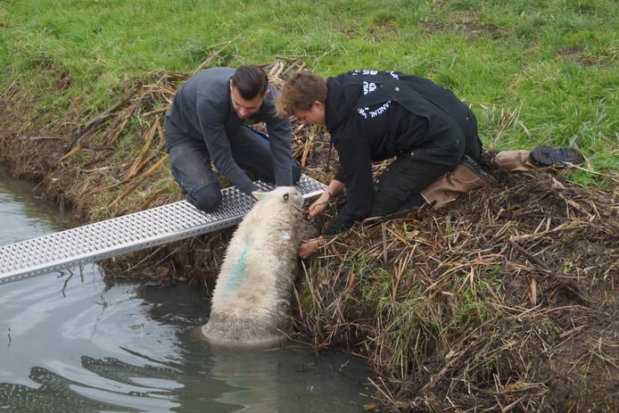 De twee jongens houden het hoofd van het schaap boven water