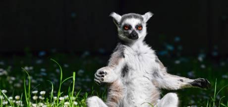 Tiener stal lemuur uit dierentuin Californië omdat hij een huisdier wilde