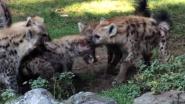Hyena's proberen nieuwkomer te verscheuren in Beekse Bergen