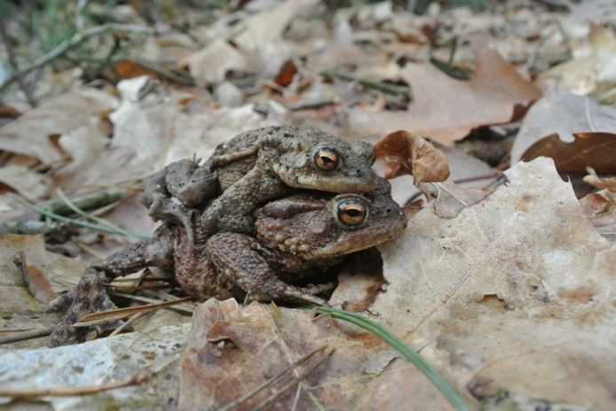 Een vrouwtjespad draagt het mannetje naar de geboortepoel.