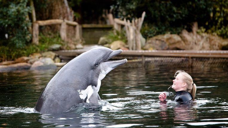 Skinny, de oudste dolfijn van Europa, in het Dolfinarium. Beeld anp