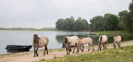 Test geslacht paard bewijst: ook te veel dioxine in  grazer bij Grindgat Weurt
