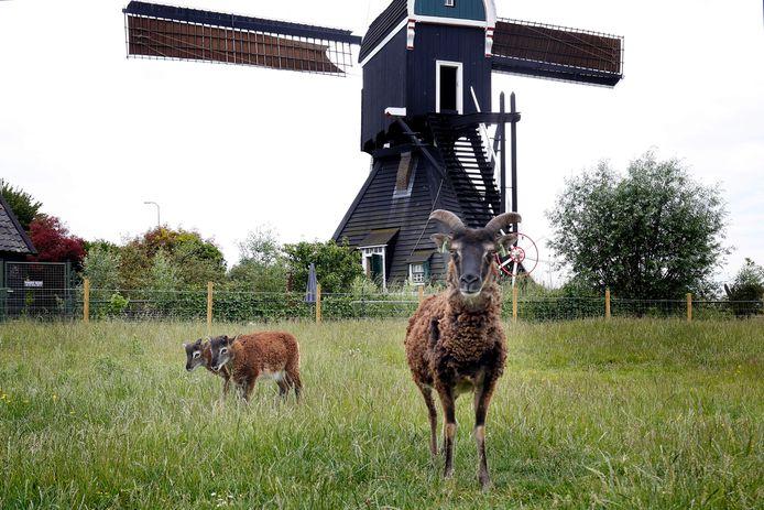 Deze schapen hadden vorig jaar al tijdelijk een plekje in het Molenpark op de plek waar de kinderboerderij komt.