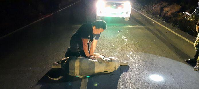 De Thaise Mana Srivate reanimeert een jonge olifant.