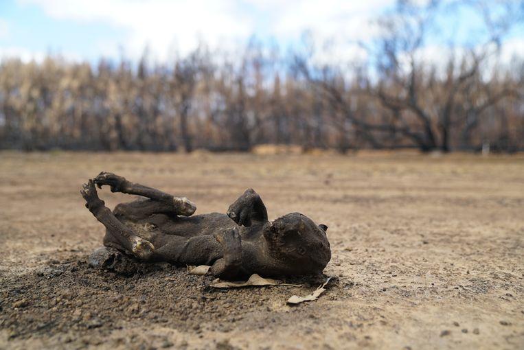 Verbrande dieren op Kangaroo Island, Australië. Burnt animals on Kangaroo Island. Beeld WWF Australia