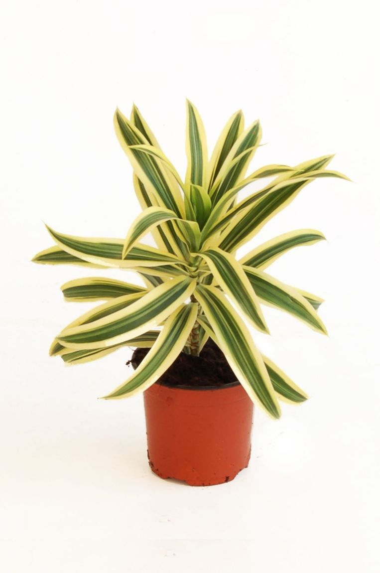 'Drakenboom' (bijv. Dracaena reflexa of Dracaena fragrans) Beeld