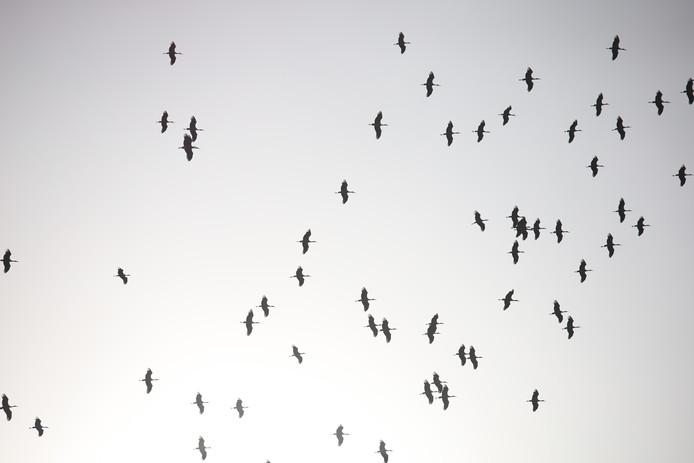 Honderden ooievaars zwermen boven de Oostweg in Enschede, nadat ze even zijn neergestreken in een weiland aan de Slaghekkeweg.
