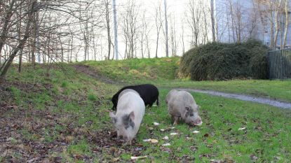 Ontsnapte varkens op de baan