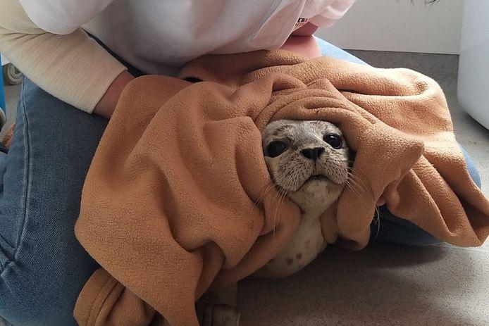 De zeehond die vorige week op het strand lag bij te komen.