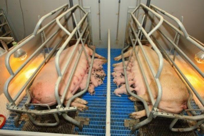 In de kraamboxen kunnen de varkens slechts één stap voor- of achteruit doen.