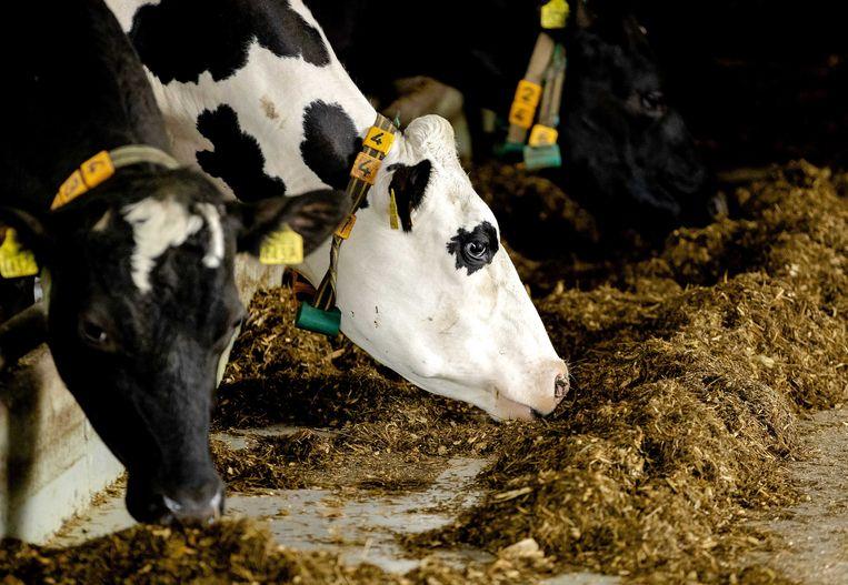 Koeien in de stal. Beeld ANP