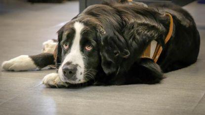 Gentse flikken nemen hulphond in dienst om slachtoffers emotioneel bij te staan