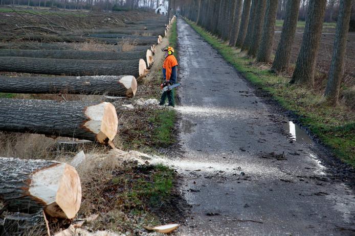 Bomenkap begin dit jaar in de Hedwigepolder.