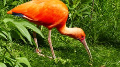Ontsnapte rode ibis gezocht