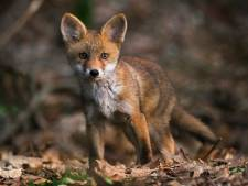 Nijmeegs college wil best bemiddelen, maar gaat zelf niet over vossenjacht