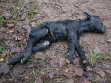 Dood gevonden geitje in Zelhem was pas paar weken oud: 'Navelstreng zat er nog aan'