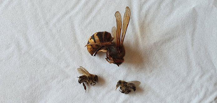 Zaterdag een Europese hoornaar en 2 bijen gevonden.