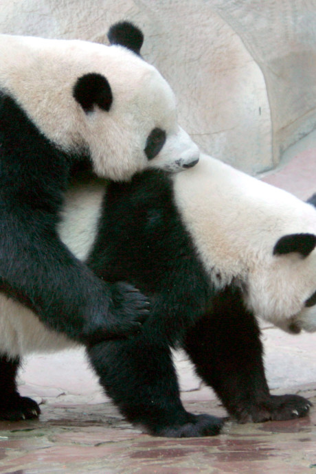 Le panda le moins libidineux du monde est mort