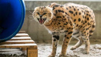 """Natuurhulpcentrum na inbeslagname servals: """"Deze katachtige is misschien schattig, maar géén geschikt huisdier"""""""