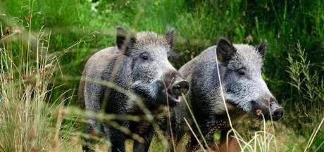 Extra jacht op wilde zwijnen vanwege Afrikaanse varkenspest leidt tot protest