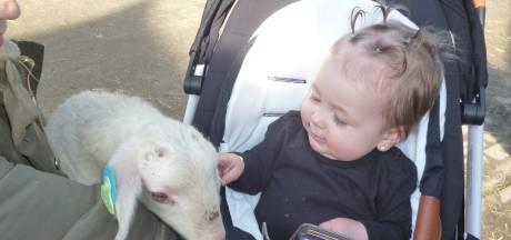 Lammetjes knuffelen én adopteren in Schijndel