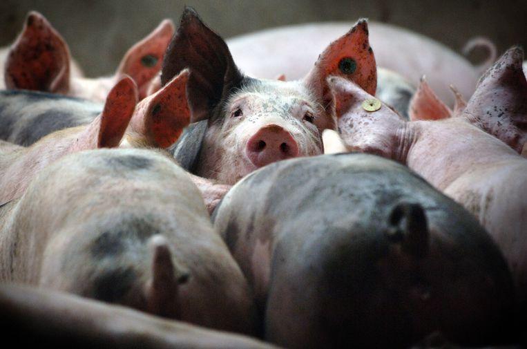 Varkens in de intensieve veehouderij. Beeld Marcel van den Bergh / de Volkskrant
