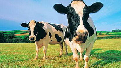 Belgisch vee eet genetisch gemanipuleerde voeding