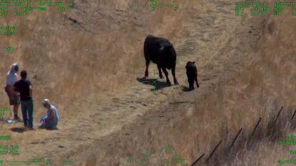 Koppel gered met een helikopter nadat ze achtervolgd werden door een koe