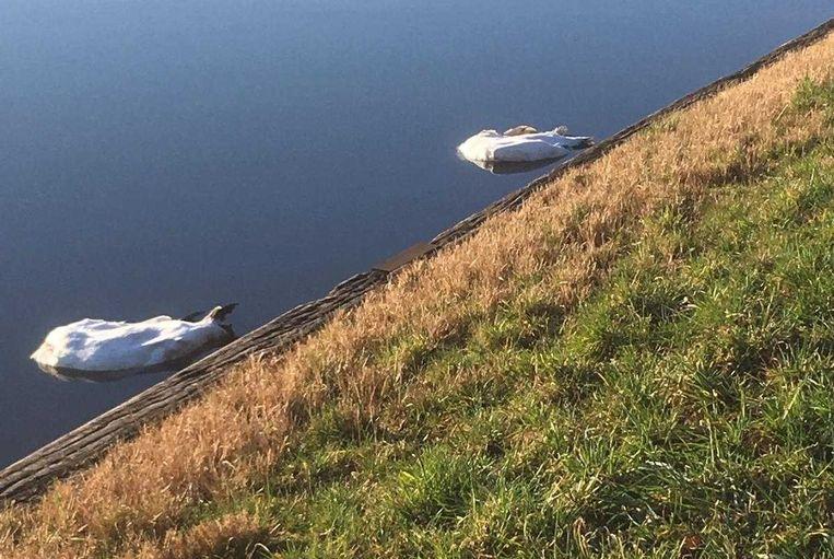 In het kanaal bij Lexmond zijn zondagochtend in totaal zes gedode zwanen aangetroffen.