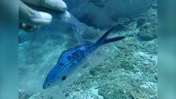 VIDEO. Het trieste gevolg van onze vervuilde zeeën: duiker redt kleine vis die vastzit in plastic zakje