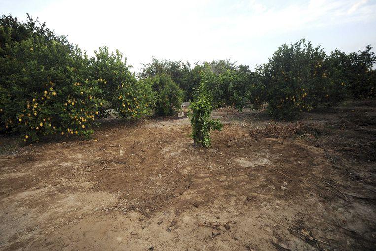 De citroenboomgaard in Alquerías. Beeld EPA
