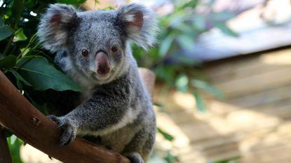 Triest nieuws uit Pairi Daiza: twee koala's overleden in nog geen maand tijd