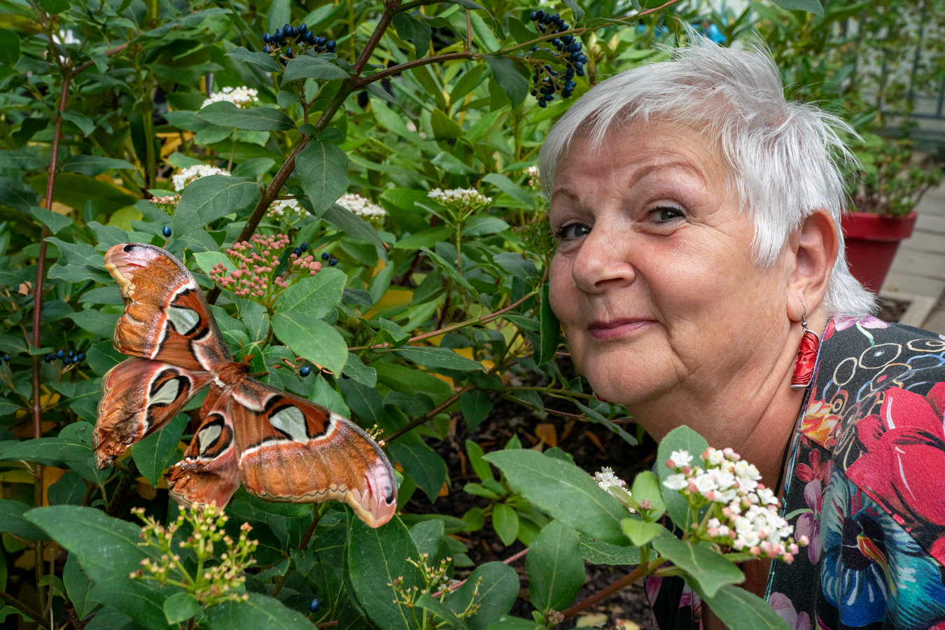Phil Duijzer, de initiator van de vlindertuin, bij een van de atlasvlinders.